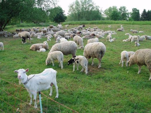 goat-189734_960_720